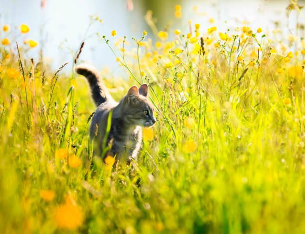 funny cute striped kitty walks on a green sunny bright flowering meadow in the summer - котик яркий стоковые фото и изображения