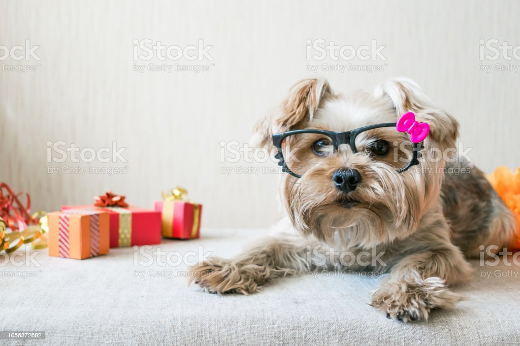 Funny Cute Yorkshire Terrier Dog In Carnival Glasses Lies On Table