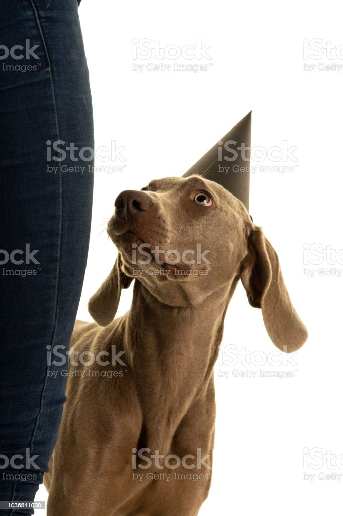 Funny Cute Young Weimaraner Dog Head Wearing A Party Hat Looking Up