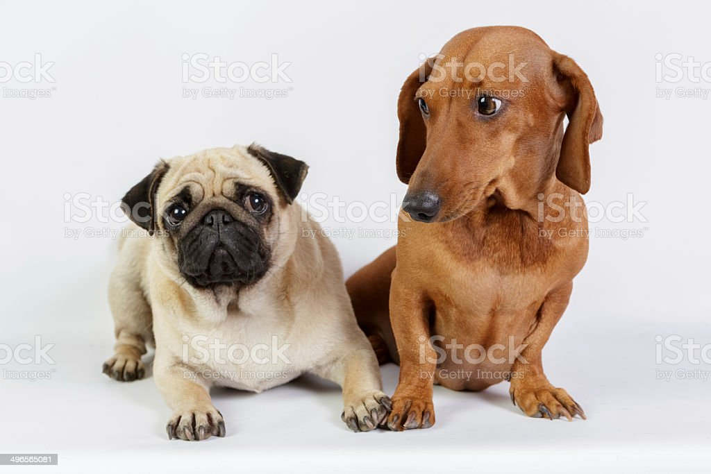 Funny Dachshund And Pug Stock Photo More Pictures Of Animal Istock