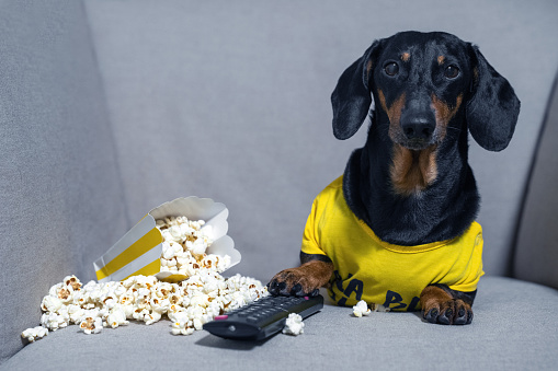 Funny dachshund dog in a yellow T-shirt spends his free time in weekend sitting in chair with a pack of popcorn and TV remote control watching a film. The concept of bad habits, idleness and laziness.