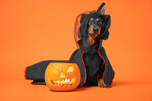 Funny dachshund in witch pointed hat with veil and black magic mantle sits on orange background with pumpkin jack lantern, copy space. Preparing to celebrate halloween.