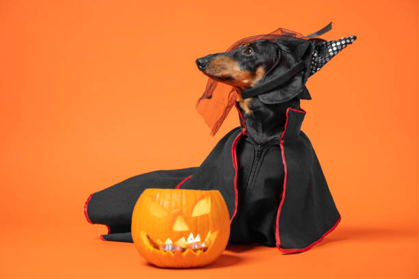 Funny dachshund in witch pointed hat with veil and black magic mantle sits on orange background with pumpkin jack lantern, copy space. Preparing to celebrate halloween. Funny dachshund in witch pointed hat with veil and black magic mantle sits on orange background with pumpkin jack lantern, copy space. Preparing to celebrate halloween. pet clothing stock pictures, royalty-free photos & images