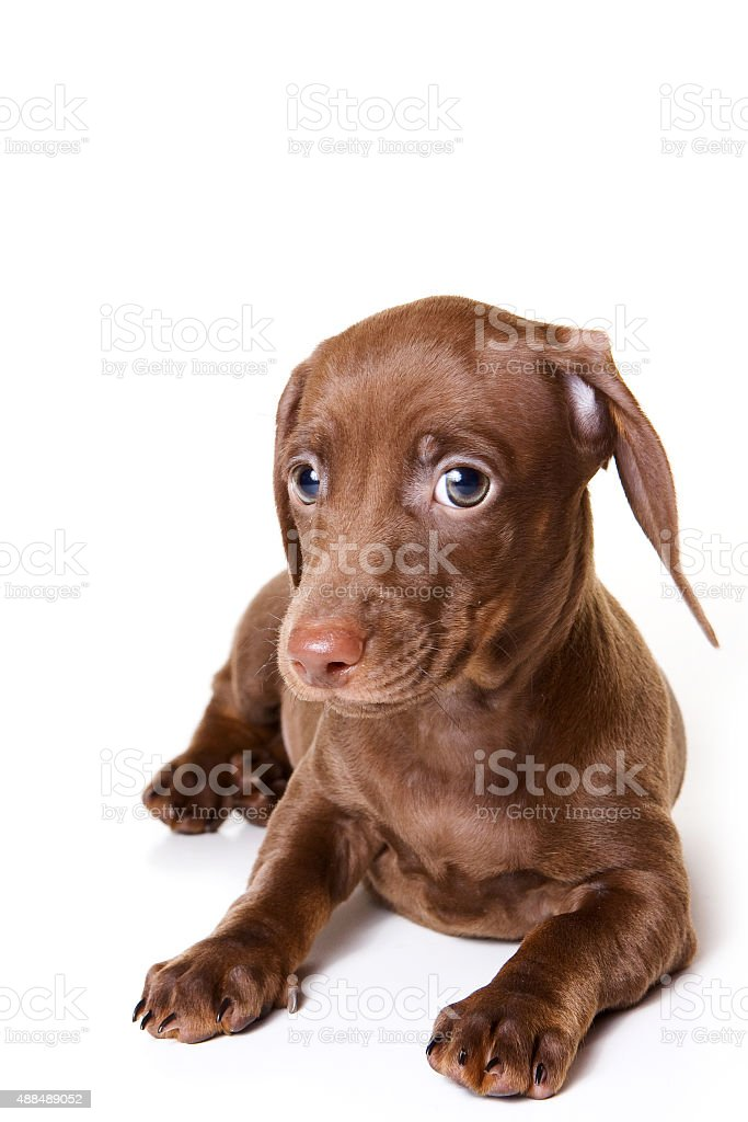 Funny Dachshund Puppy Looking At The Camera Stock Photo Download Image Now Istock