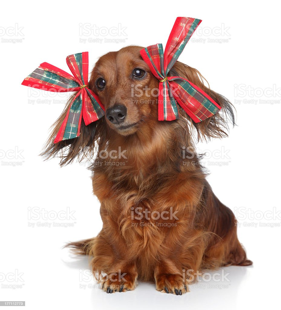 Funny Dachshund with red bows on a white background royalty-free stock photo