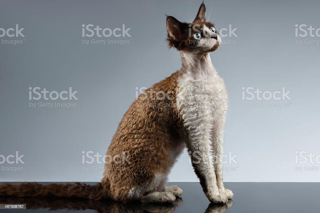 śmieszne Devon Rex Stoi W Profilu Widok Na Szary Stockowe Zdjęcia