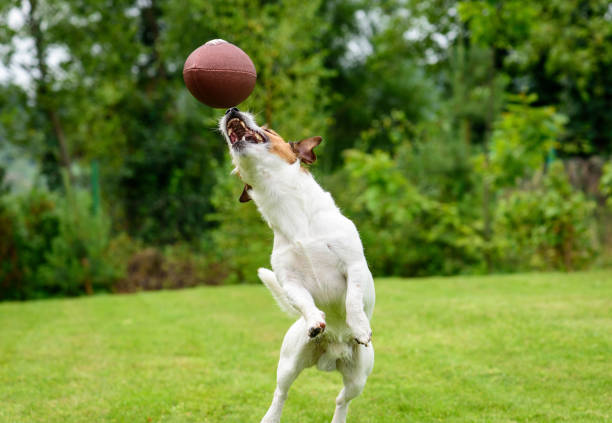 Funny dog catching rugby ball at backyard lawn picture id868985942?b=1&k=6&m=868985942&s=612x612&w=0&h=ttkthbavl3vinlrby6z0xbpdb 5czejppncstsnpf8g=
