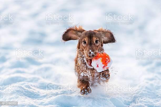 Funny dog dachshund jumps up in winter park picture id512750202?b=1&k=6&m=512750202&s=612x612&h=uvoycyvqn6bmbxtd6sfla dlltk4oytfu8humldutq0=