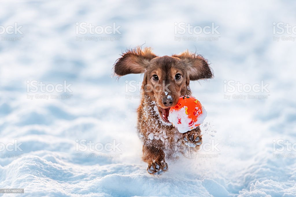 funny dog dachshund  jumps up in winter park stock photo