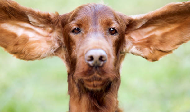 Funny dog ears stock photo