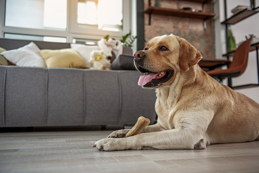 Side view glad labrador tasting delicious bone while lying on floor. Lunch concept. Copy space