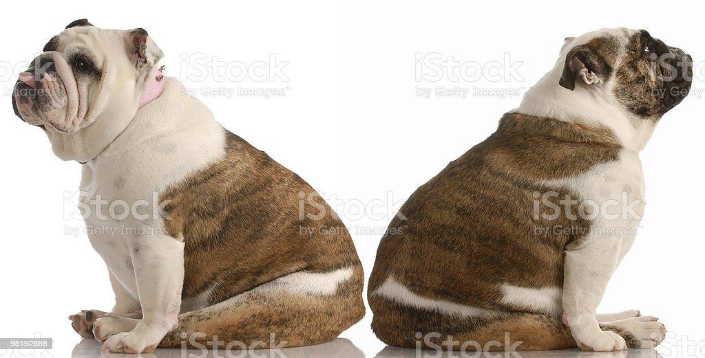 funny dog fight royalty-free stock photo