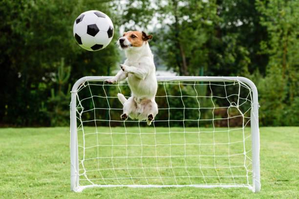 Funny dog flying in amusing pose catching football ball and saving picture id888920884?b=1&k=6&m=888920884&s=612x612&w=0&h=ncsqkoui5qqd0n4gja3f5za9nso mfjr9xbdq7hvrco=
