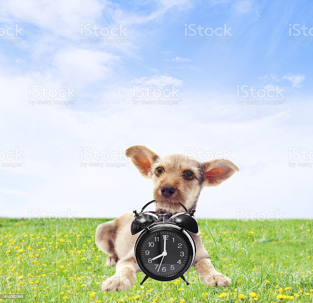 funny dog holding in teeth alarm clock stock photo