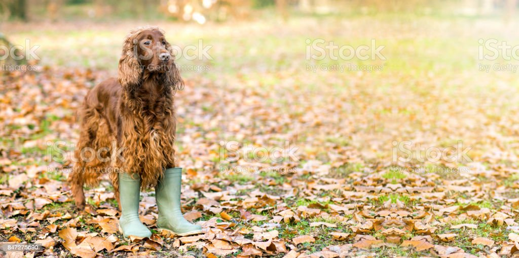 Funny dog in Autumn stock photo