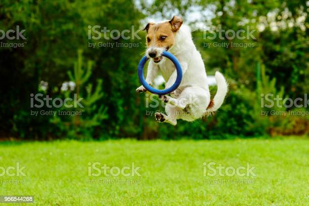 Funny dog in jumping motion catching ring toss toy picture id956544268?b=1&k=6&m=956544268&s=612x612&h=dp3k5o3wdqlxwzholvqsosctzbggvbgqfn fnhijowi=