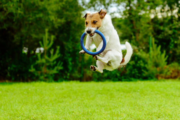 Funny dog in jumping motion  catching ring toss toy Jack Russell Terrier playing with blue ring puller catching stock pictures, royalty-free photos & images