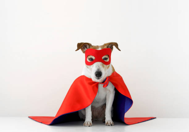 Funny dog in superhero costume Cute little dog in red superhero cape and mask sitting on gray background headland stock pictures, royalty-free photos & images