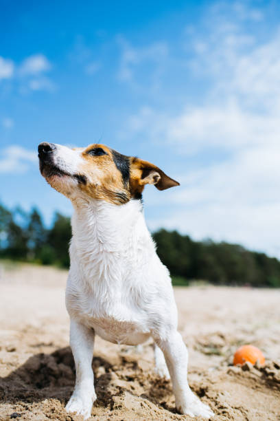 Funny dog Jack Russell Terrier on a sandy beach looking into the distance. Bottom view. stock photo