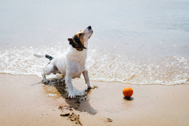 Funny dog Jack Russell Terrier out of the water and shakes on a sandy beach. stock photo