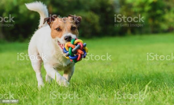 Funny dog looking at camera playing with toy ball picture id658879862?b=1&k=6&m=658879862&s=612x612&h=vuu8ruryb2xilikyiemdj3wcdqs2svs5csnf7u7mtni=