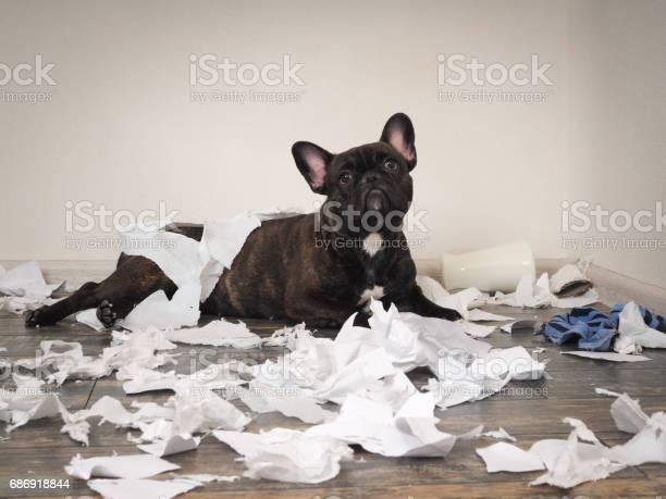 Funny dog made a mess in the room playful puppy french bulldog picture id686918844?b=1&k=6&m=686918844&s=612x612&h=fs2dvmxp5cvcoldxjplr kx03cgmbw0 x9excj9ivyw=