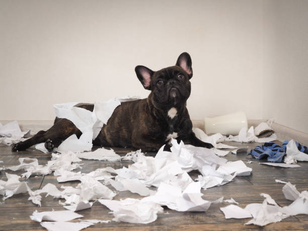 Funny dog made a mess in the room. Playful puppy French bulldog stock photo