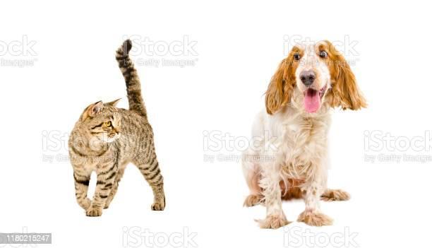 Funny dog of breed russian spaniel and cat scottish straight picture id1180215247?b=1&k=6&m=1180215247&s=612x612&h=dknbmjpabbrgirheudtjyk4yxawwresflv6aoytxcxa=