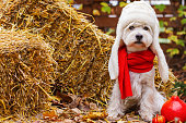 Funny dog west highland white terrier dressed in red scarf and white hat ear flaps is sitting outdoor near orange pumpkins. Haystacks on background. Trick or treat. Happy halloween and autumn concept.