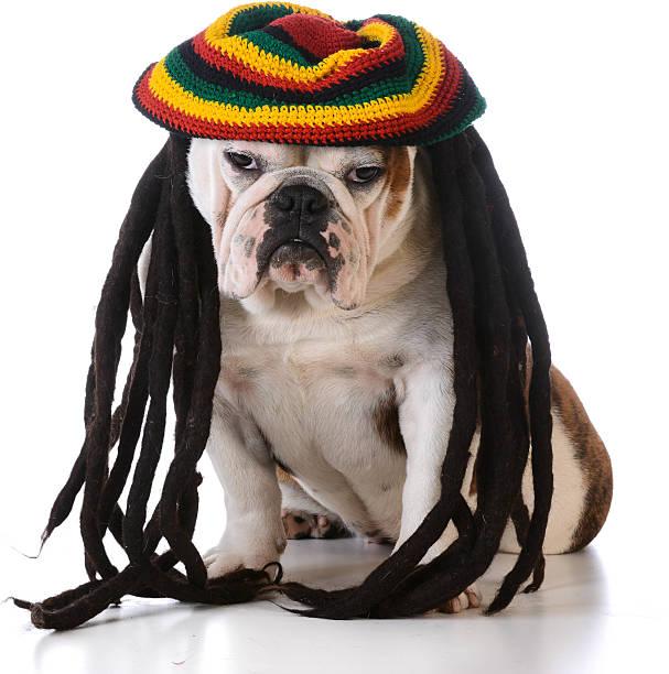 lustiger hund - rote dreads stock-fotos und bilder