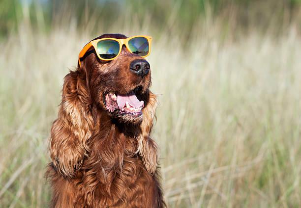 Funny dog Funny dog wearing orange sunglasses irish setter stock pictures, royalty-free photos & images