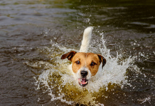 Funny dog playing in water making big splashes Jack Russell Terrier having fun at beach wading stock pictures, royalty-free photos & images