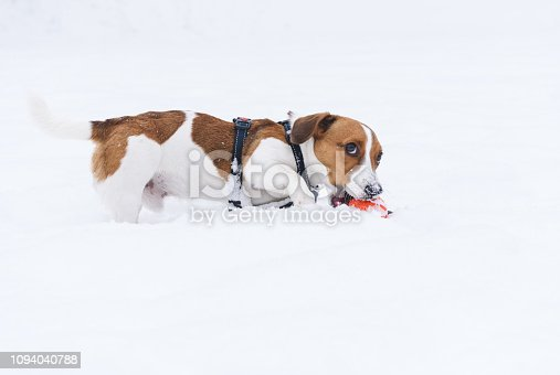 Jack Russell Terrier walking off-leash at winter day