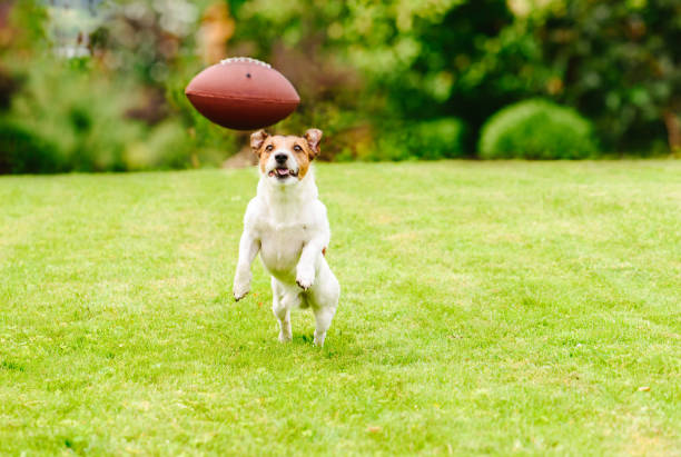 Funny dog playing with american football ball at backyard lawn picture id1006241394?b=1&k=6&m=1006241394&s=612x612&w=0&h=aysqlryrtafck50tzjj3 rcl5xqb55ttp37qipdmb9o=