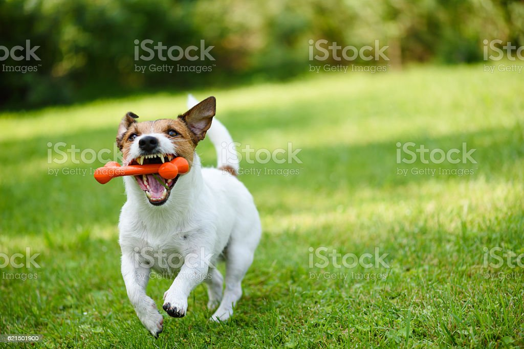 Funny dog playing with rubber toy bone in jaws foto stock royalty-free