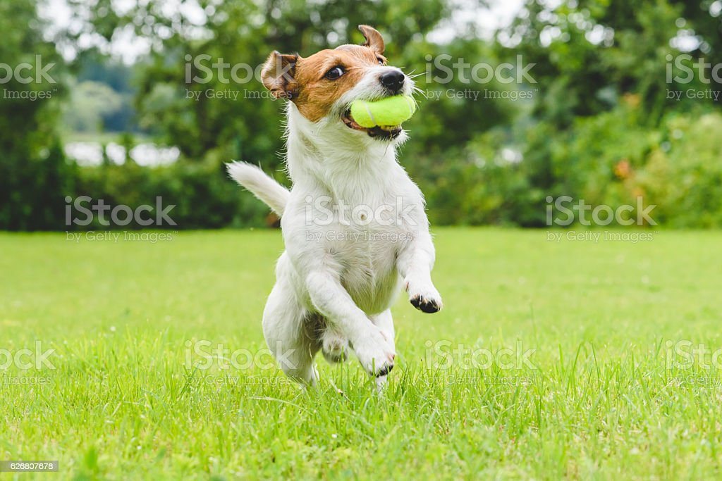 Funny dog playing with tennis ball toy on lawn stock photo