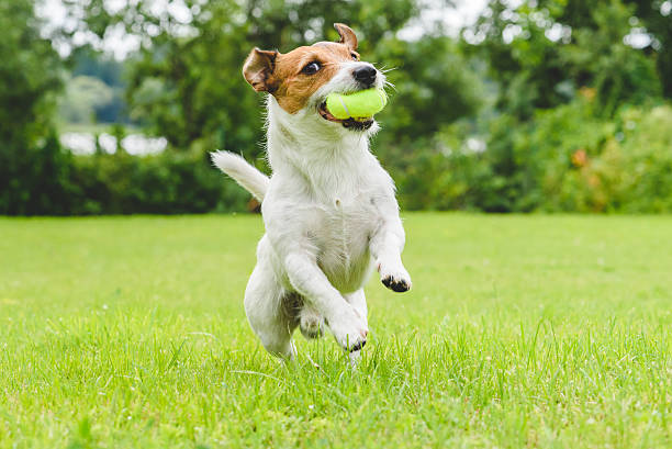 funny dog playing with tennis ball toy on lawn - dog jumping stock photos and pictures