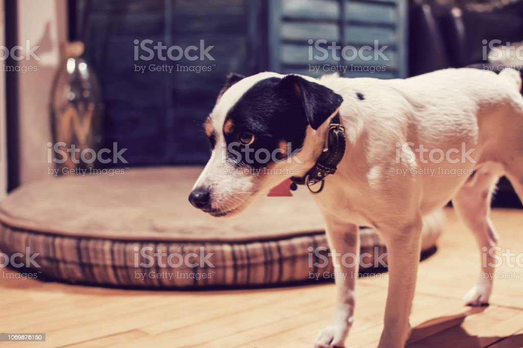 Funny dog portrait cute little dog at home stock photo