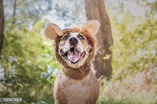 Happy smiling staffordshire terrier sits in wild animal costume in sunny meadow