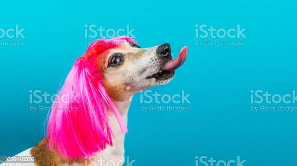 Funny dog profile in pink wig on blue background licking picture id1026410376?b=1&k=6&m=1026410376&s=612x612&h=rtnv5ctp7l5lb7eb udpsnmb1r2ccpco9z3u2xptvwc=