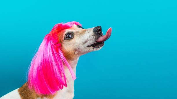 perfil de perro gracioso en peluca rosa en lamidas de fondo azul. - ironía fotografías e imágenes de stock