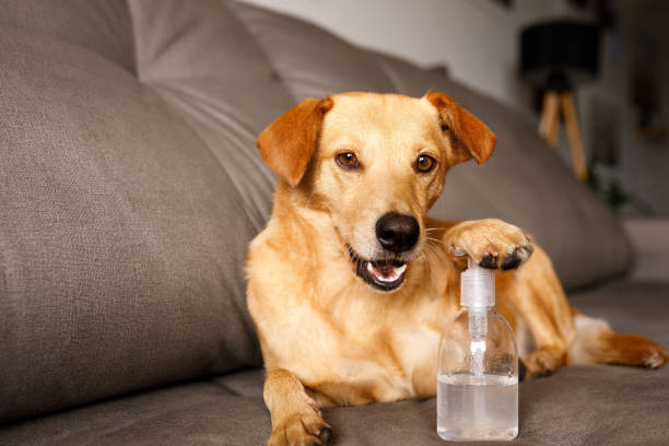 Funny dog pushing a hand sanitizer alcohol gel stock photo