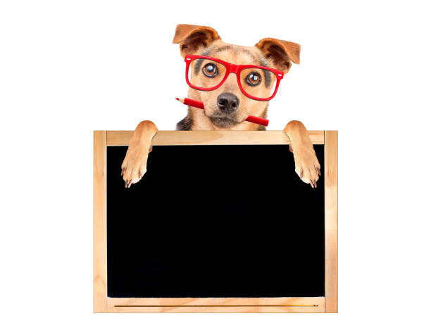 funny dog red glasses pencil behind blank blackboard isolated - haustier des lehrers stock-fotos und bilder