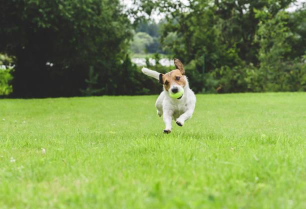 Funny dog running at green grass lawn holding tennis ball in mouth picture id1079888748?b=1&k=6&m=1079888748&s=612x612&w=0&h=vg6 onfi2n9psshytommf69zqa16bw0wcpeskschro4=