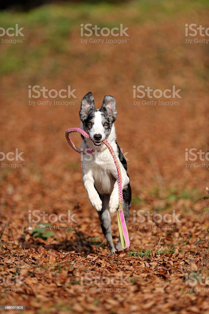 Funny perros corriendo en la boca correa de retención - foto de stock