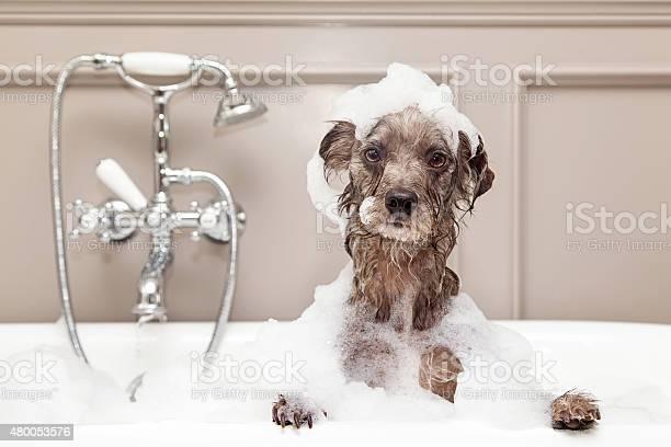 Funny dog taking bubble bath picture id480053576?b=1&k=6&m=480053576&s=612x612&h=yrv3ekx3slwg9sh72c892tltgcfecqymunua2titvz8=