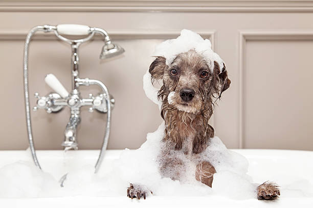 Funny Dog Taking Bubble Bath A cute little terrier breed dog taking a bubble bath with his paws up on the rim of the tub bathtub stock pictures, royalty-free photos & images