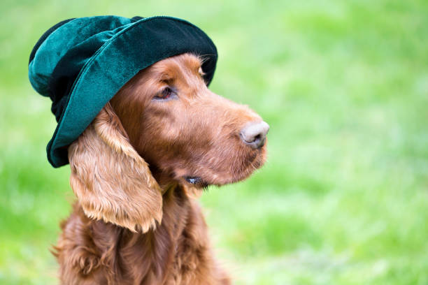 Funny dog wearing a green hat Funny Irish Setter dog wearing a green hat irish setter stock pictures, royalty-free photos & images