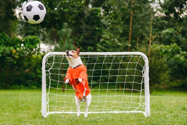 Funny Dog Wearing Orange Kit van de Nederlandse nationale ploeg Catching voetbal (Soccer) Ball foto