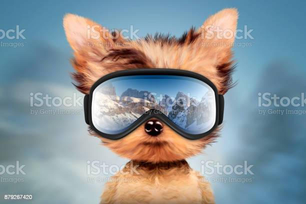 Funny dog wearing ski goggles christmas concept picture id879267420?b=1&k=6&m=879267420&s=612x612&h=smgzbktzlbdodmgucw5dzvx17 fiwm9 o5h1rcdse70=